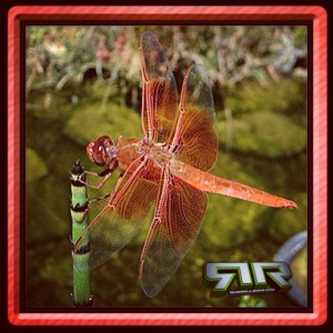 #DragonFly @RussellRope